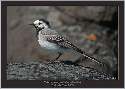 White Wagtail (Moticilla alba)
