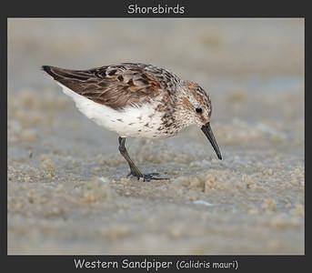 Western Sandpiper