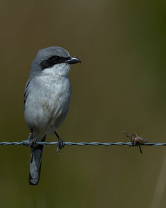 Loggerhead Shrike, Viera Wetlands (FL), Feb. 2015