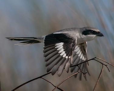 Loggerhead Shrike, Anahuac NWR (TX), Dec. 2012