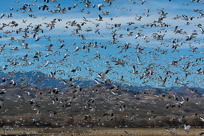 Snow Geese, Bosque del Apache NWR (NM), Dec. 2013