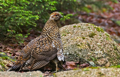 Spruce Grouse Maine - June 2008