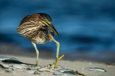 Green Heron, Ft. Pickens (FL), Sept. 2014