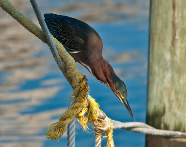 Green Heron, Joe Patti's Seafood Market in Pensacola, August 2008