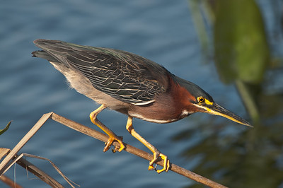 Green Heron, Viera Wetlands (FL), Feb. 2009