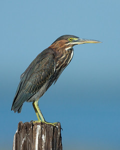 Green Heron, Bolivar Peninsula (TX), August 2014