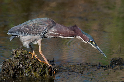 Green Heron, Anahuac NWR (TX), May 2011