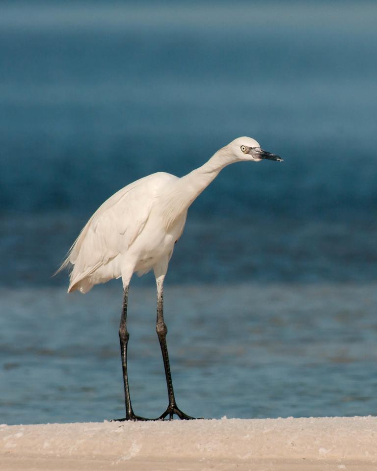 Reddish Egret Opal Beach, FL - June 2012