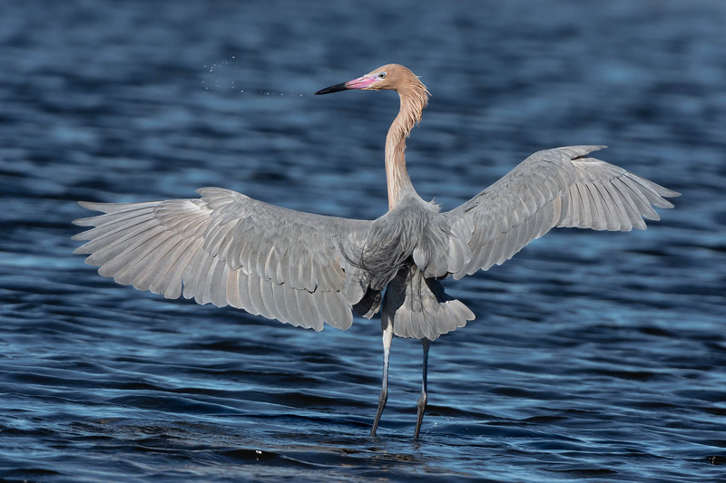 Reddish Egret - Merritt Island NWR - January 2014