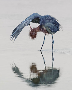 Reddish Egret Sanibel Island, FL - Feb. 2012