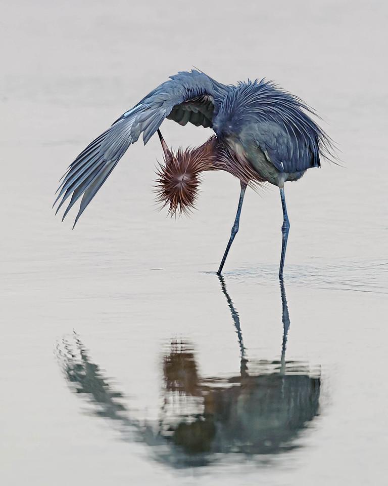 Reddish Egret Sanibel Island, FL - Feb. 2012