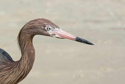 Reddish Egret Opal Beach, FL - April 2013