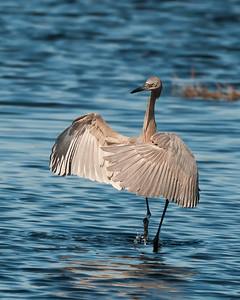 Reddish Egret - Merritt Island NWR - February 2014