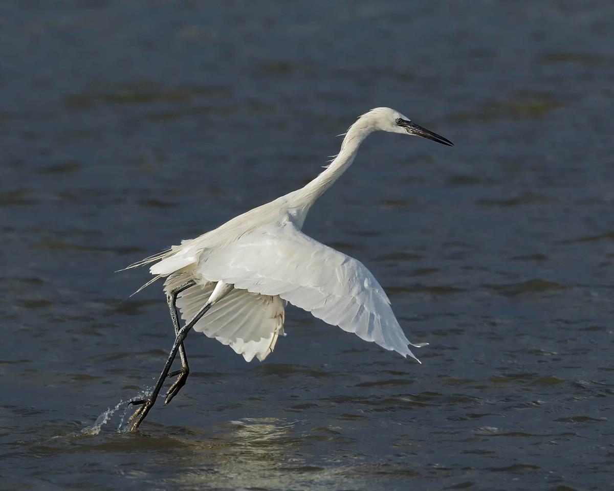 Reddish Egret (White Morph) - Rollover Pass, TX - October 2013