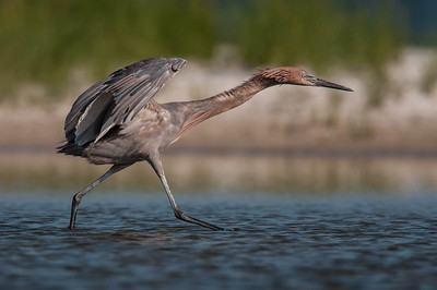 Reddish Egret Opal Beach, FL - July 2011