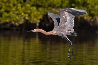 Reddish Egret Ft. Desoto State Park, FL - Dec. 2009