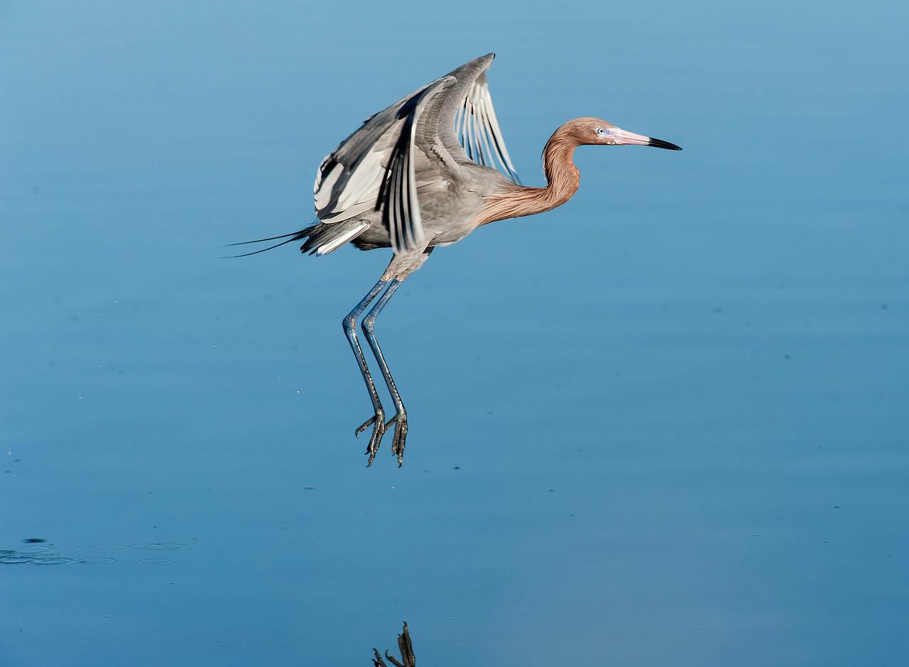 Reddish Egret Merritt Island, FL - Jan. 2012