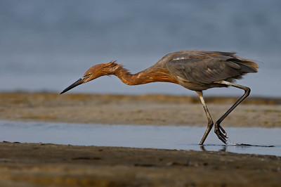Reddish Egret Opal Beach, FL - Sept. 2011