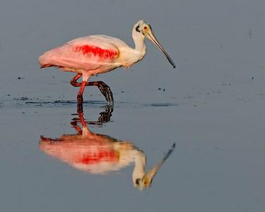 Roseate Spoonbill (Platalea ajaja)  Sanibel Island, FL - Feb. 2012