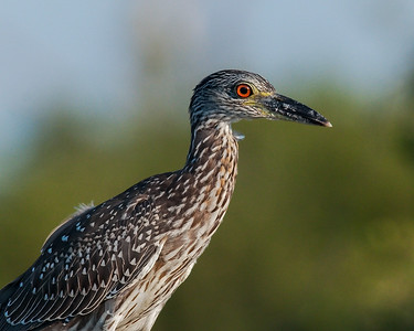 Yellow-crowned Night Heron, Ft. Pickens (FL), August 2009