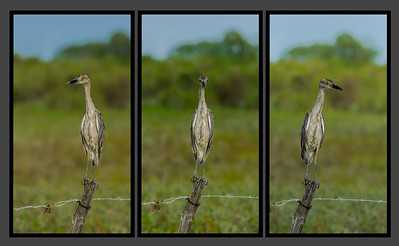 Yellow-crowned Night Heron, Bolivar Peninsula (TX), July 2013