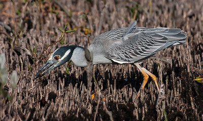 Yellow-crowned Night Heron, Ding Darling NWR, Sanibel FL, Feb. 2013