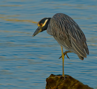Yellow-crowned Night Heron, Bayfront Drive, Pensacola FL, Sept. 2007