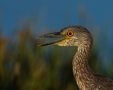 Yellow-crowned Night Heron, Bolivar Peninsula (TX), Oct. 2014