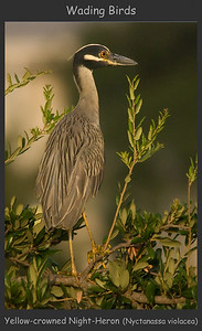 Yellow-crowned Night Heron, Blakeley Mud Flats, Mobile AL, July 2008