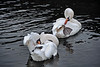 Swans grooming as they swim