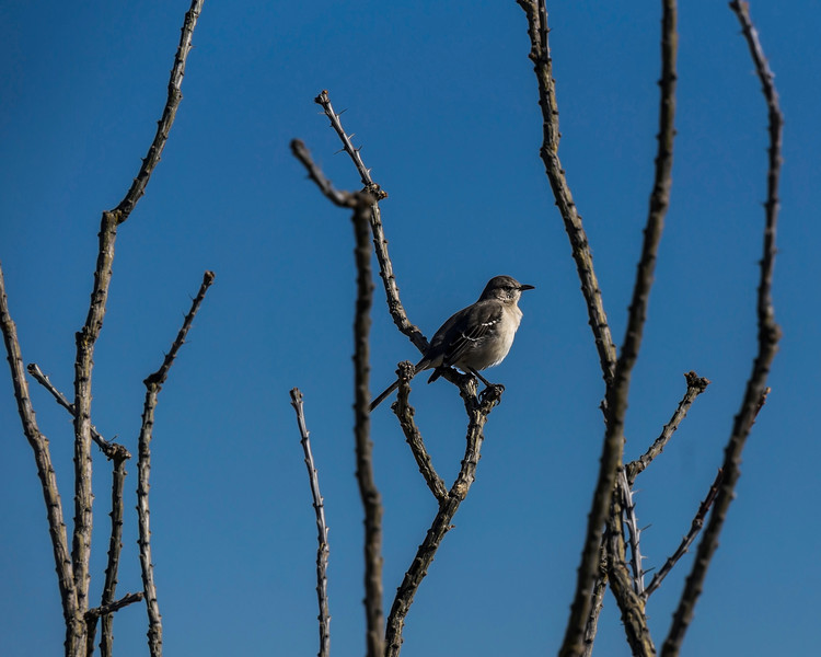 Northern Mockingbird (tentative ID) perched on ocotillo stems.<br /> .<br /> Saguaro National Park, East.<br /> Tucson, Arizona<br /> December 20, 2012 (mid- to late morning)