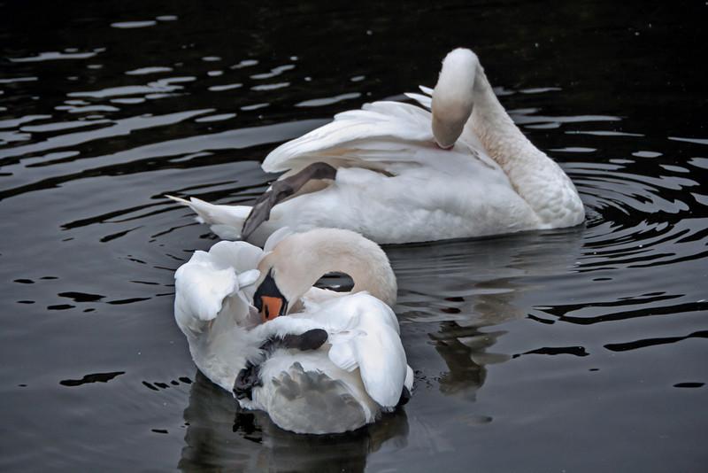 Swans, River Corrib, Galway, Ireland.