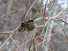 Last year's model:  unidentified bird's nest, seen mid-March in SE Michigan in open scrub.
