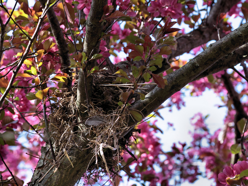 A robin on her nest.  She chose a lovely crab apple bower for it!<br /> <br /> April 22, 2010.