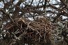 I'm no good at telling what kind of bird made a particular nest.  This was large enough for a robin, for example.  It was in a hawthorn tree, about six feet off the ground.<br /> <br /> February 1, 2010