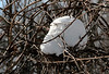 "Another snow ""egg""<br /> <br /> This nest is just a few feet off a well traveled trail in Wildwood Preserve, not more that 8-10 feet off the ground.  A bold bird, indeed."