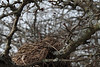 Birds nest in hawthorn tree.<br /> <br /> February, 2010