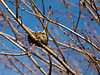 Old bird's nest among swelling new maple buds.<br /> <br /> February 20, 2012