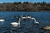D044-2017  Trumpeter swans feeding<br /> <br /> Huron River at Gallup Park, Ann Arbor<br /> Taken February 13, 2017