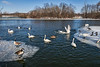 Swan kerfuffle