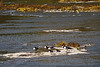 Canada geese taking advantage of the low water in the Maumee River to perch on exposed rocks in the rapids below the dam.<br /> <br /> Grand Rapids, Ohio<br /> October14, 2010