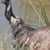Emu from Warrabe Zoo