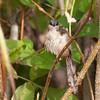 Ashy Prinia acca Powder Puff Sparrow