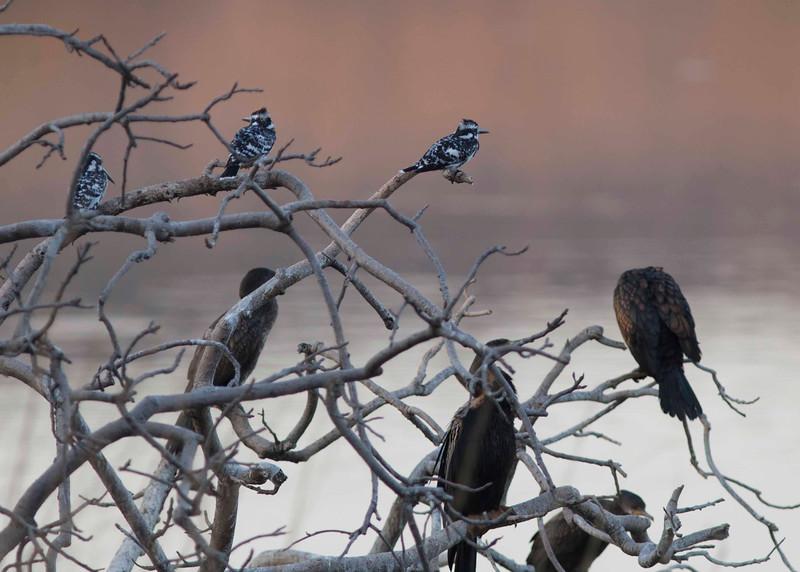 Three Pied Kingfishers and black cormorants
