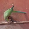 Rose-Ringed Parakeet drinking