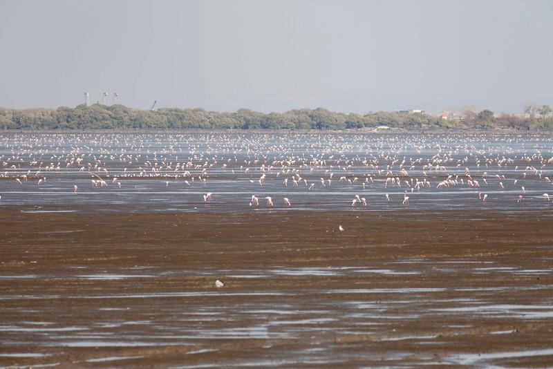 Pink Flamingos in Mumbai Bay