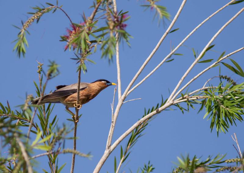 Burmense Starling