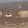 Little Ringed Plover dancing