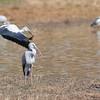 Open-Billed Storks