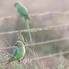 Green Head Parakeet